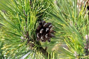 Komposisi Motion Free — Ekstrak Pinus