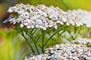 Komposisi Proherbarix — Common-Yarrow atau Achillea-Millefolium